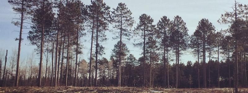 red pines at Cloquet Forestry Center