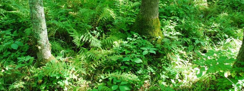 ground layer vegetation in an ash-dominated wet forest