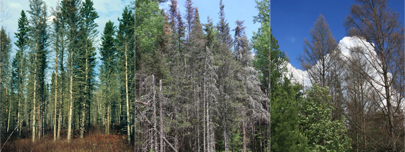 larch beetle and spruce budworm damage