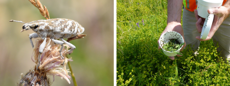 Left: root weevil used to reduce spotted knapweed infestations. Right - cup of beetles being released at leafy spurge infestation