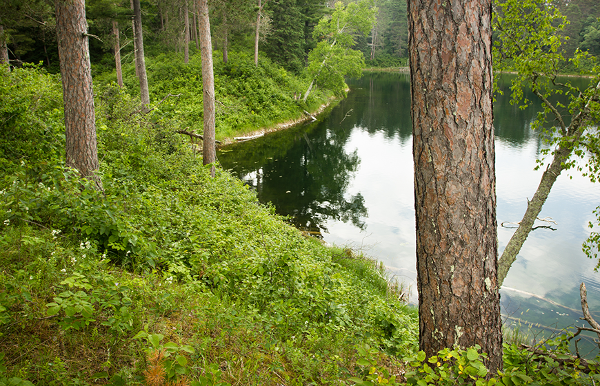 Red pine at lake near Itasca State Park