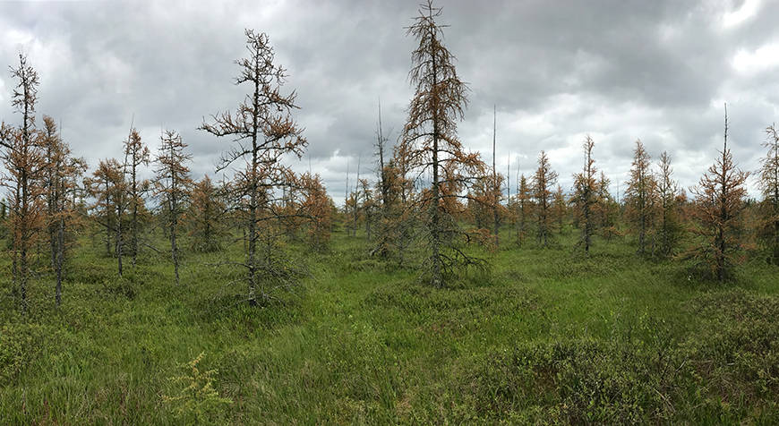 Tamarack impacted by an eastern larch beetle infestation