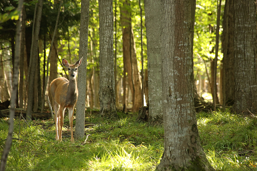 white-tailed deer photo by Avelino Zepeda
