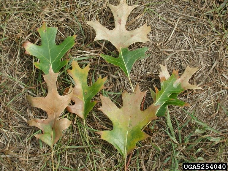 Oak leaves with symptoms of oak wilt, Joseph O'Brien USFS