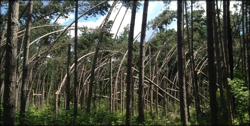 storm damage in red pine near Bemidji, MN