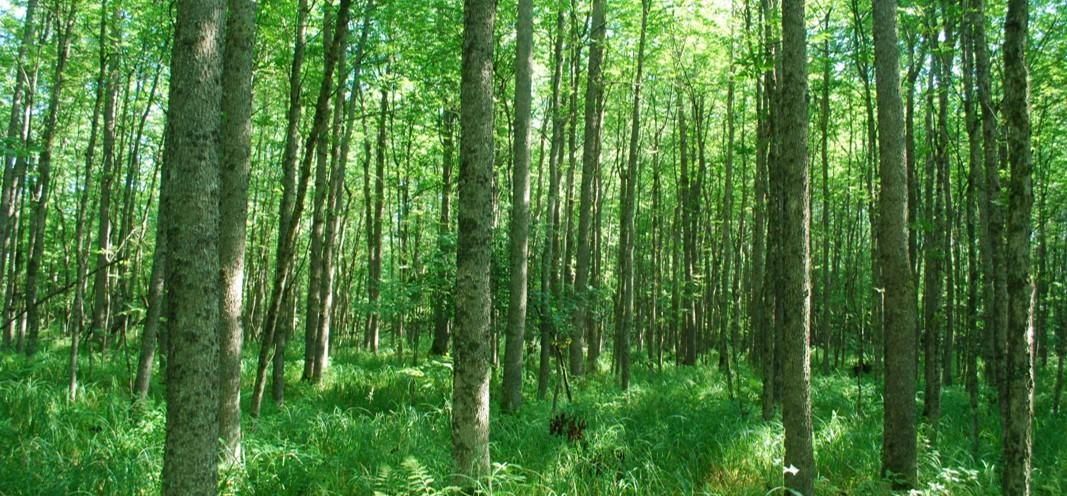 Understory of an ash swamp