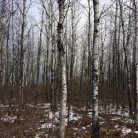 33 year-old aspen clearcut, ruffed grouse habitat research site