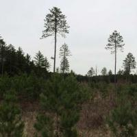 13 year-old red pine seed tree site