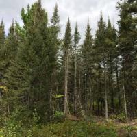 A spruce budworm-damaged stand near Two Harbors